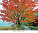 Wild Red Maple and Fog, New Hampshire Print by Christopher Burkett