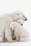 Polar Bear Family Prints