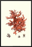 Red Coral III Framed Canvas Print