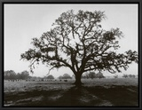 Oak Tree, Sunrise Framed Canvas Print by Ansel Adams