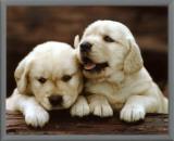 Golden Retrievers Puppies Framed Canvas Print