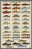 Eastern Gamefish Identification Chart Framed Canvas Print