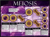 Meiosis Framed Canvas Print