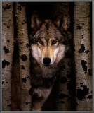 Wisdom: Gray Wolf Framed Canvas Print
