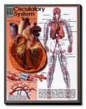 Circulatory System Framed Canvas Print