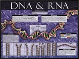 DNA & RNA Framed Canvas Print