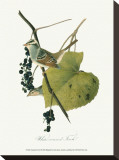 Finch Stretched Canvas Print by John James Audubon