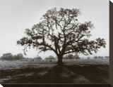 Oak Tree, Sunrise Stretched Canvas Print by Ansel Adams