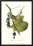 Finch Framed Canvas Print by John James Audubon