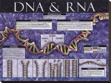 DNA & RNA Stretched Canvas Print