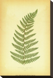 Fern V Stretched Canvas Print by Edward Lowe