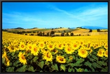 Sunflowers Field, Umbria Framed Canvas Print by Philip Enticknap