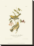 Black-Throated Green Wood Warbler Stretched Canvas Print by John James Audubon