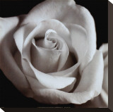 Open Rose Stretched Canvas Print