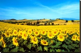 Sunflowers Field, Umbria Stretched Canvas Print by Philip Enticknap