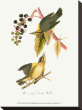Warbler Stretched Canvas Print by John James Audubon