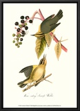 Warbler Framed Canvas Print by John James Audubon
