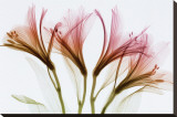 Alstromeria Stretched Canvas Print by Steven N. Meyers
