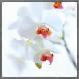 White and Pink Orchid Framed Canvas Print by C&#233;dric Porchez