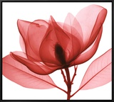 Red Magnolia I Framed Canvas Print by Steven N. Meyers