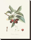 Cherries Stretched Canvas Print by Pierre-Antoine Poiteau