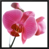 Pink Orchid Framed Canvas Print by Cédric Porchez