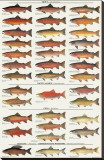 Trout, Salmon & Char of North America I Stretched Canvas Print