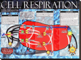 Cellular Respiration Stretched Canvas Print