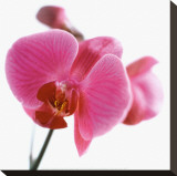 Pink Orchid Stretched Canvas Print by Cédric Porchez