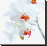 White and Pink Orchid Stretched Canvas Print by C&#233;dric Porchez