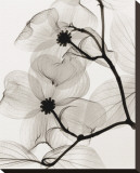 Dogwood Blossoms Stretched Canvas Print by Steven N. Meyers