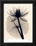 Tropical Water Lily Posters by Judith Mcmillan