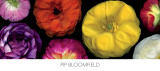 Ranunculus Panorama Print by Pip Bloomfield