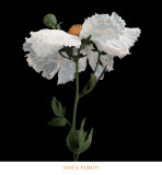 Matilija Poppy I Art by Sondra Wampler