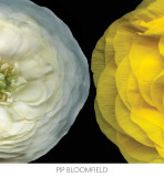 Ranunculus Right Prints by Pip Bloomfield