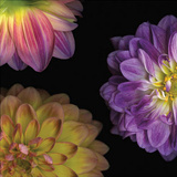 Purple Dahlia I Prints by Pip Bloomfield