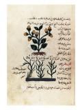 Arab Manuscript Depicting a Plant Print