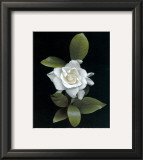 Gardenia Glory Posters by Rosemarie Stanford