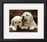 Golden Retrievers Puppies Prints