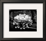 Zinnia Prints by Harold Silverman