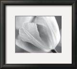 Tulip I Prints by Dennis Frates