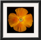 California Poppy Posters by Harold Feinstein
