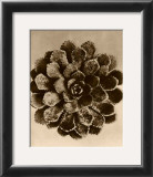 Sepia Botany Study II Prints by Karl Blossfeldt