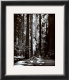 Redwoods, Founders Grove Art by Ansel Adams