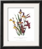 Sphoerospora Imbricata Posters by Jane W. Loudon