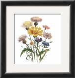 Centaurea Crocadylium Print by Jane W. Loudon