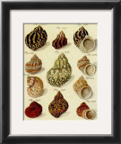 Conchylien Cabinet IV Prints by W. Martini