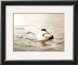 Solitary Eider Prints by Pierre Leduc