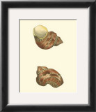 Variegated Turbo Shells Prints by George Shaw