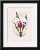 Cattleya Orchid Posters by Ted Mundorff